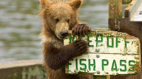 brown bear chewing on sign