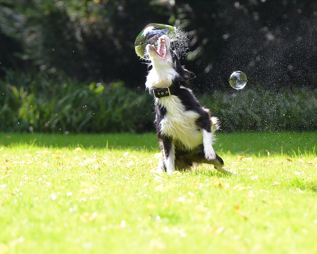 black and white dog biting big soap bubble