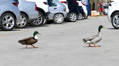 ducks in a parking lot
