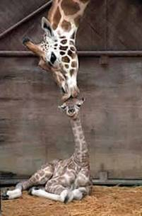 mom giraffe kissing baby giraffe