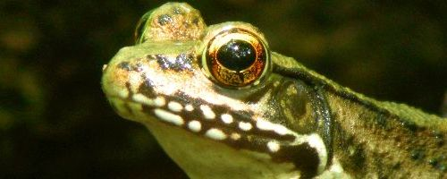 green frog close up big eyes
