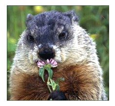 ground hog and flower