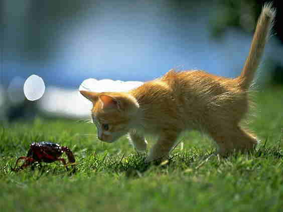 kitty cat sniffing a beetle