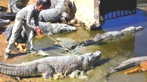 man walking on feeding crocodiles