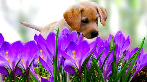 puppy in purple flowers
