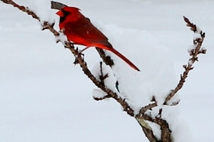 red cardinal in heavy snow