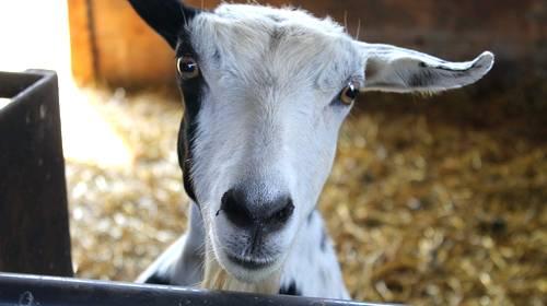 sheep straw close up