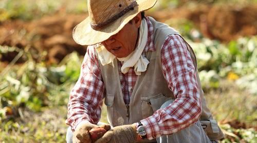 old farmer in straw hat peeling sweet potato