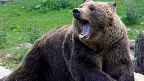 brown bear yawn