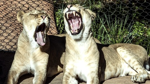 lionesses yawn